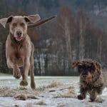 Cómo pasear con dos perros a la vez